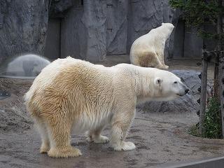旭山動物園の北極クマ