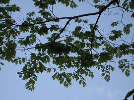 家の前のけやきの木